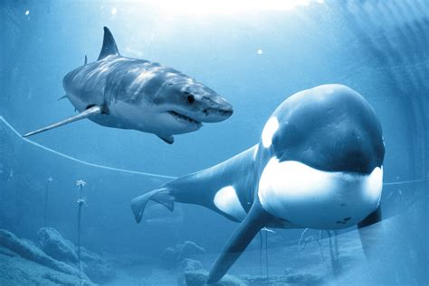 The Great White Shark Vs. Orca (A.K.A The Killer Whale)